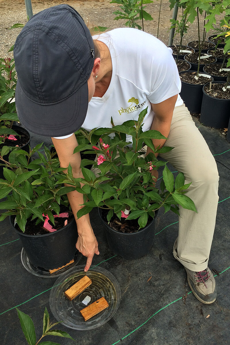 researcher pouring water through a plant in a pot