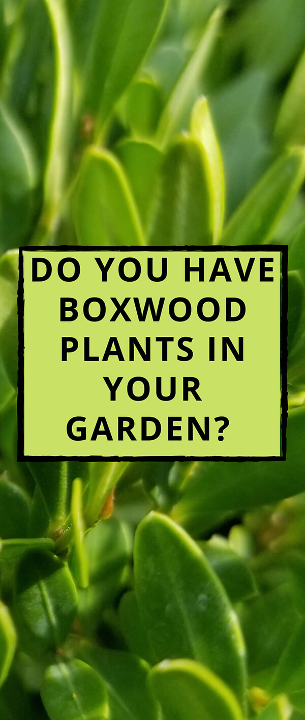 do you have boxwood plants in your garden?